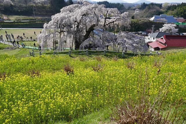 桜 (三春、花見山)_b0249247_09305781.jpg
