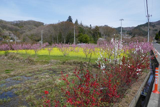 桜 (三春、花見山)_b0249247_09314299.jpg