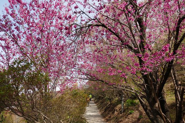桜 (三春、花見山)_b0249247_09315279.jpg