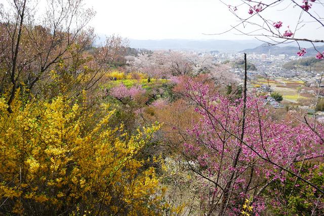 桜 (三春、花見山)_b0249247_09315506.jpg