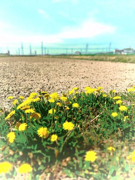 2018年4月26日 タンポポの咲く小道_b0341140_17113123.jpg
