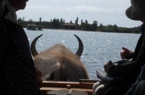 由布島観光 水牛車で海を渡る_c0011649_05130720.jpg