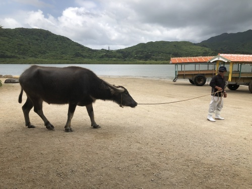由布島観光 水牛車で海を渡る_c0011649_05271743.jpg