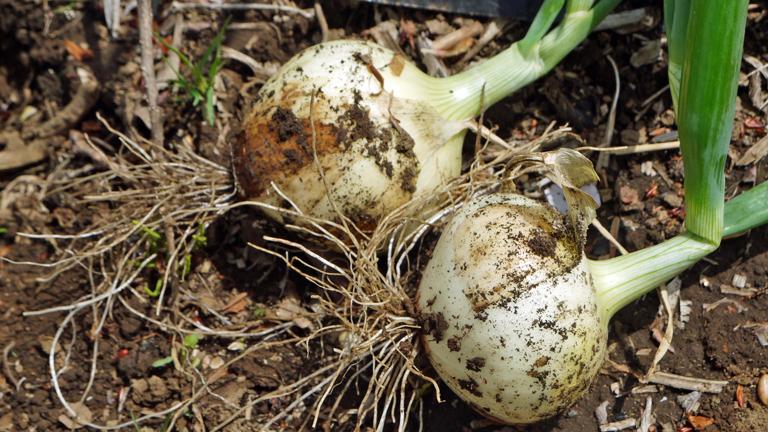 早世タマネギ初収穫&マダーボールの苗など植え付け4・16_c0014967_16595525.jpg