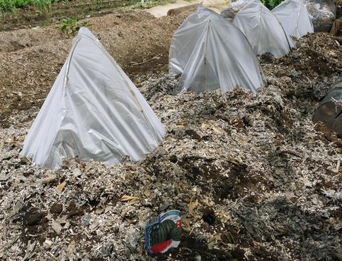 早世タマネギ初収穫&マダーボールの苗など植え付け4・16_c0014967_1702763.jpg
