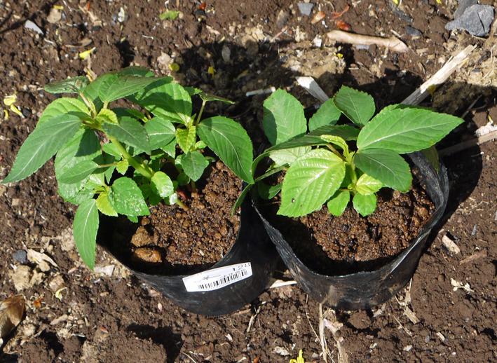 早世タマネギ初収穫&マダーボールの苗など植え付け4・16_c0014967_1703648.jpg