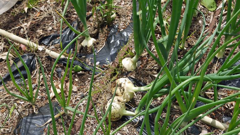 早世タマネギ初収穫&マダーボールの苗など植え付け4・16_c0014967_170778.jpg