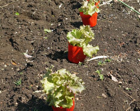 早世タマネギ初収穫&マダーボールの苗など植え付け4・16_c0014967_1711720.jpg