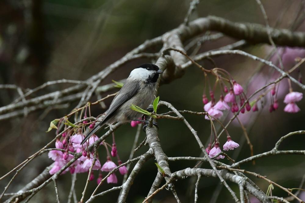 桜にコガラ_f0053272_22435846.jpg