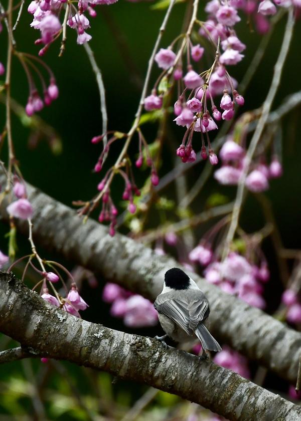 桜にコガラ_f0053272_22445568.jpg
