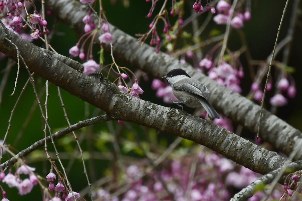桜にコガラ_f0053272_22454455.jpg