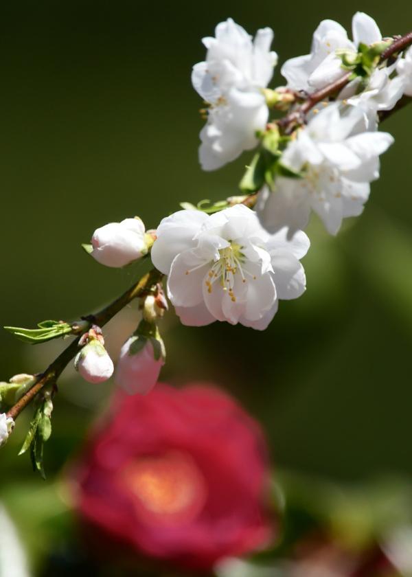 桜にコガラ_f0053272_22492817.jpg