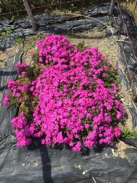 北摂の春の家庭菜園・・その2_f0229190_14334090.jpg