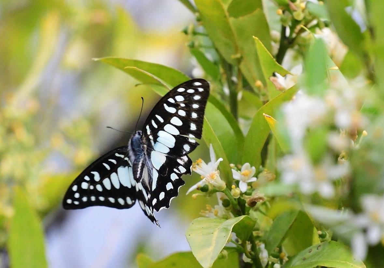 アゲハチョウ科4種の飛翔  in屋久島_d0285540_21073562.jpg
