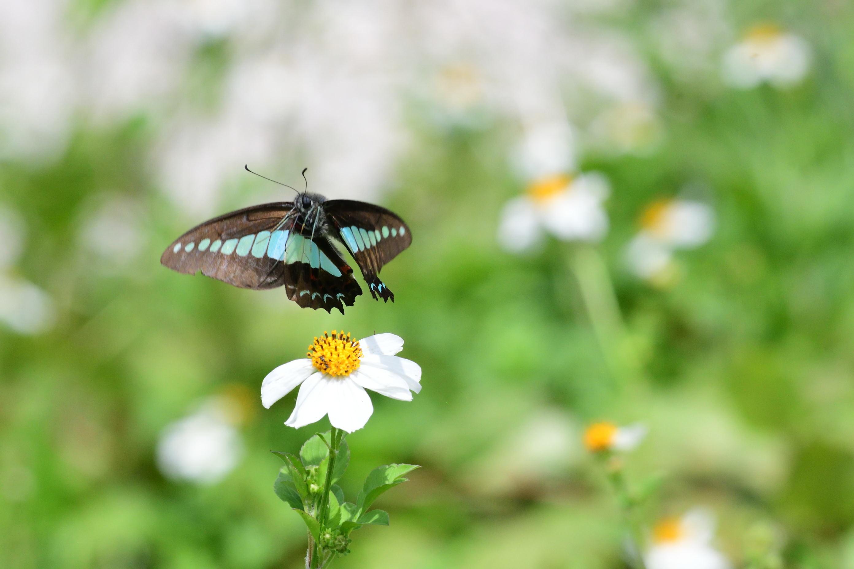アゲハチョウ科4種の飛翔  in屋久島_d0285540_21074361.jpg