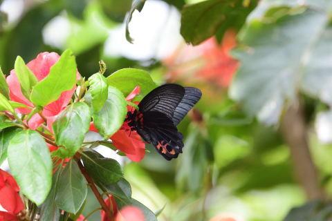 アゲハチョウ科4種の飛翔  in屋久島_d0285540_21153905.jpg