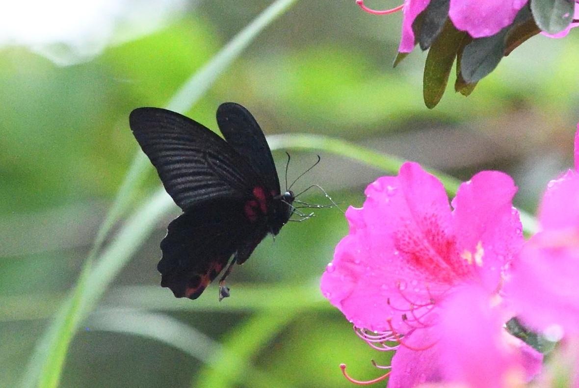 アゲハチョウ科4種の飛翔  in屋久島_d0285540_21154302.jpg