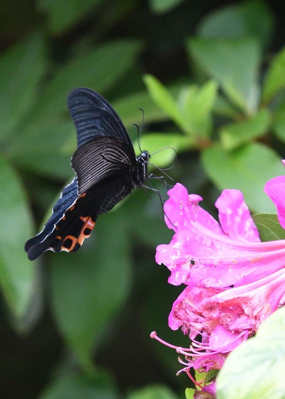 アゲハチョウ科4種の飛翔  in屋久島_d0285540_21155095.jpg