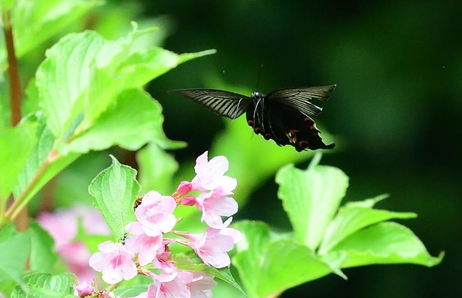 アゲハチョウ科4種の飛翔  in屋久島_d0285540_21155627.jpg