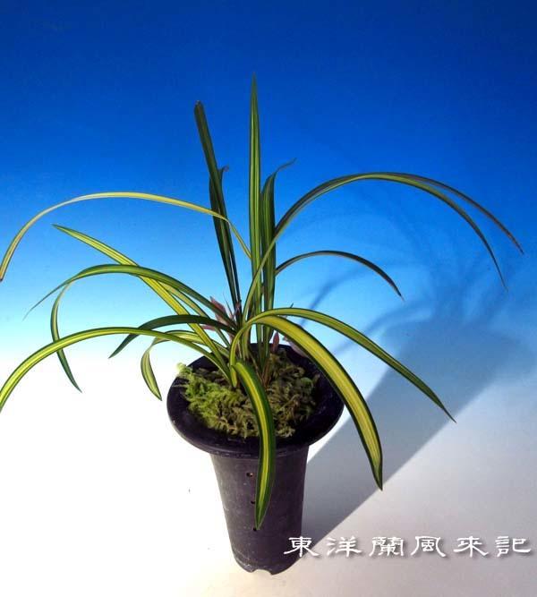 黄金宝                             No.1869_d0103457_23275635.jpg