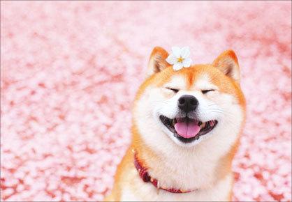 桜と雪と柴犬と_f0233665_15451553.jpg