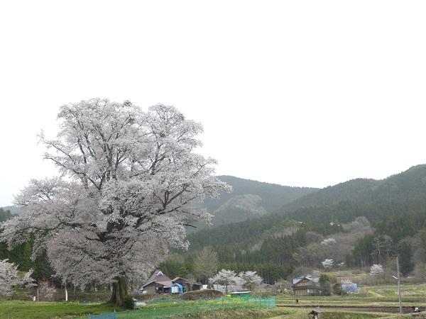 山桜_e0365880_21300720.jpg
