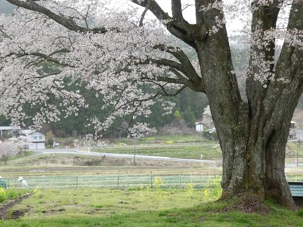 山桜_e0365880_21305226.jpg