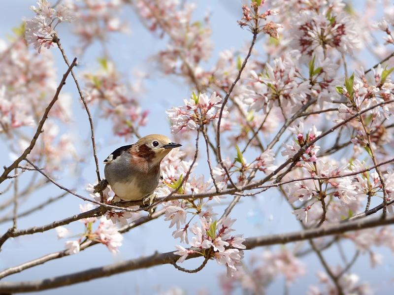 山麓の桜とコムクドリ2018_a0204089_5572031.jpg