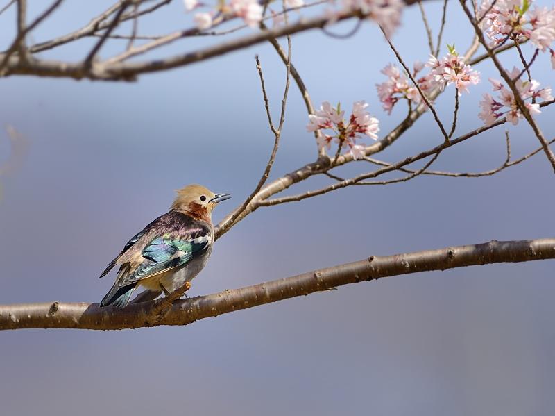 山麓の桜とコムクドリ2018_a0204089_5573193.jpg