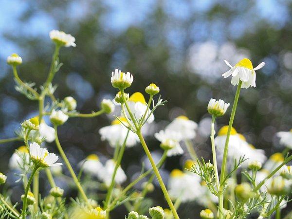 2018年4月28日 今年も咲いたカモミールの花  (^o^)V_b0341140_19485363.jpg