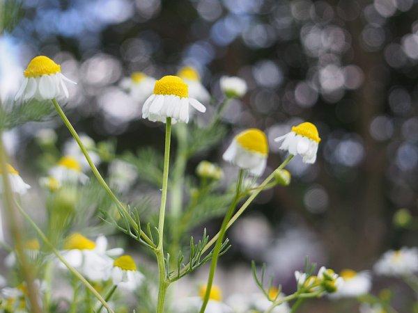 2018年4月28日 今年も咲いたカモミールの花  (^o^)V_b0341140_19491617.jpg