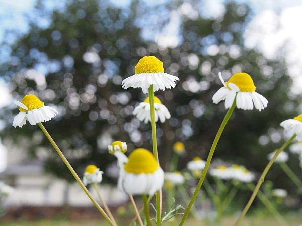 2018年4月28日 今年も咲いたカモミールの花  (^o^)V_b0341140_1949576.jpg
