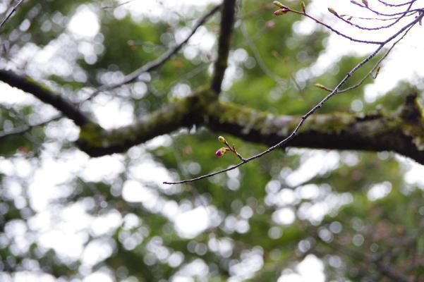 我が家の山桜をじっと観察中_c0341450_16535124.jpg