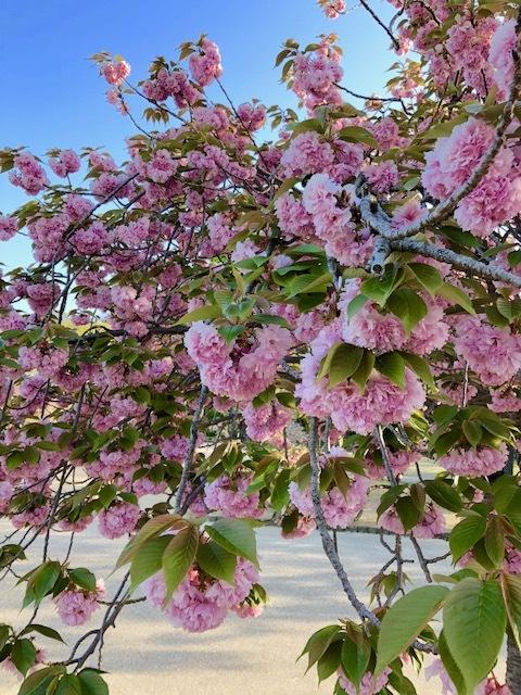 桜もち!?_b0279058_20441031.jpeg