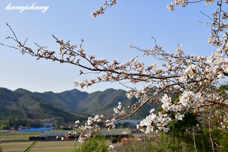 当然の桜のピン_c0173762_19465211.jpg
