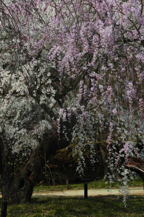 京都 桜2018京都府立植物園_f0021869_23501851.jpg