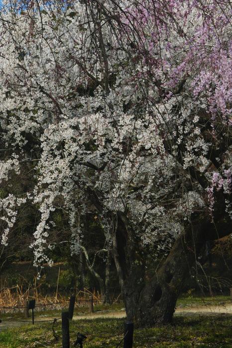 京都 桜2018京都府立植物園_f0021869_23502006.jpg