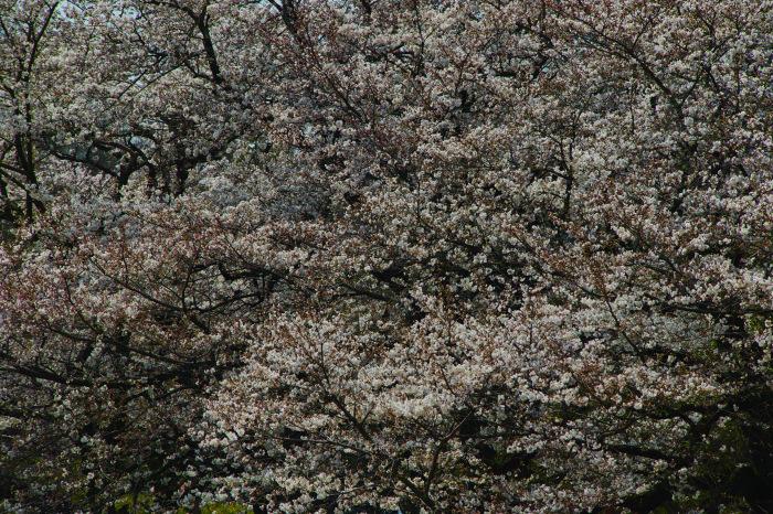 京都 桜2018京都府立植物園_f0021869_23531812.jpg