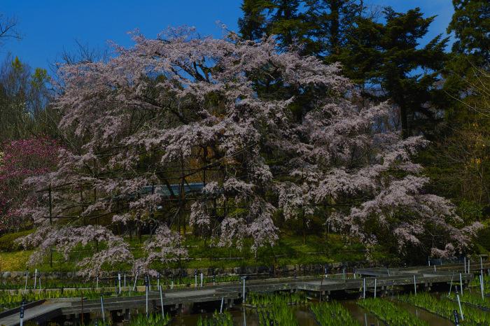 京都 桜2018京都府立植物園_f0021869_23531957.jpg