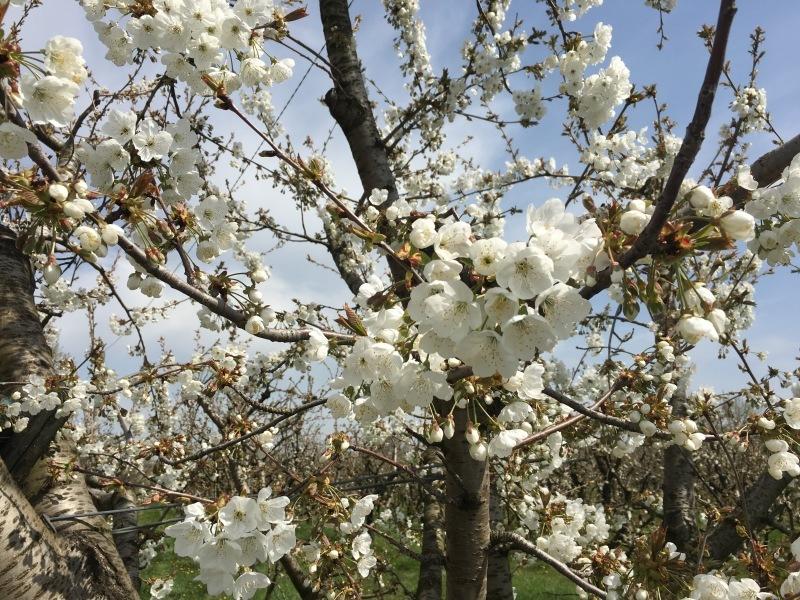 FESTA DEI CILIEGI IN FIORE a VIGNOLA 🌸 ヴィニョーラ, チェリーの花祭り_b0246303_04512876.jpg