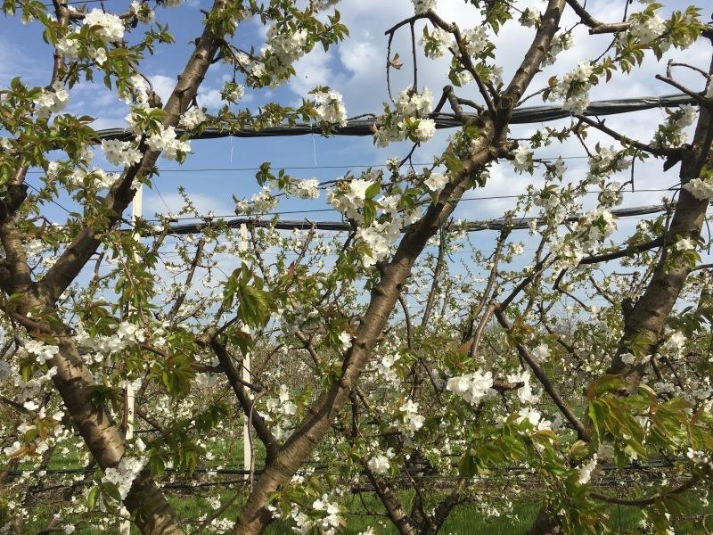 FESTA DEI CILIEGI IN FIORE a VIGNOLA 🌸 ヴィニョーラ, チェリーの花祭り_b0246303_04544124.jpg