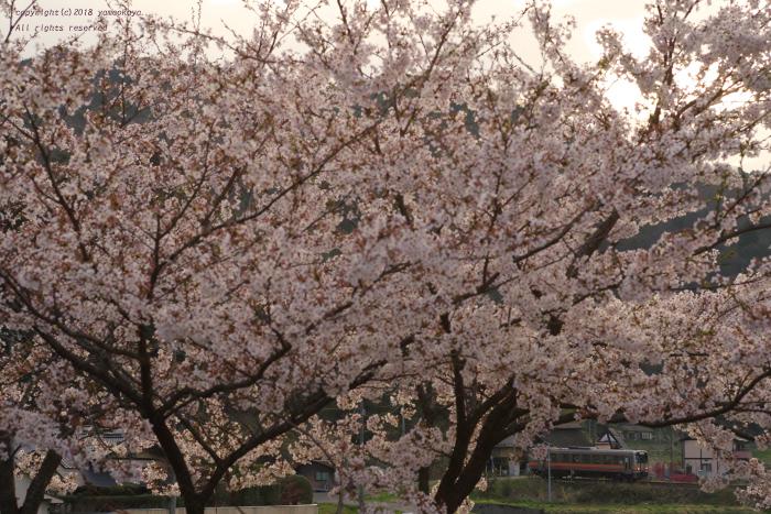 ひと足遅い桜満開_d0309612_21303395.jpg