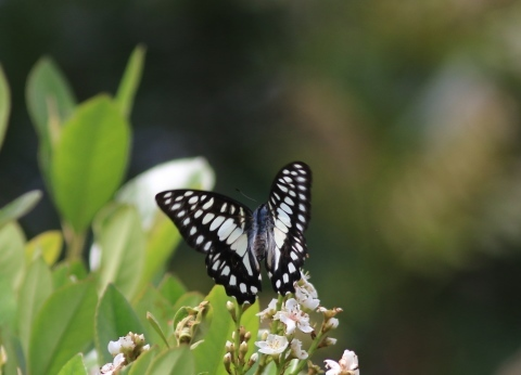 アゲハチョウ科4種の飛翔  in屋久島_d0285540_06562515.jpg