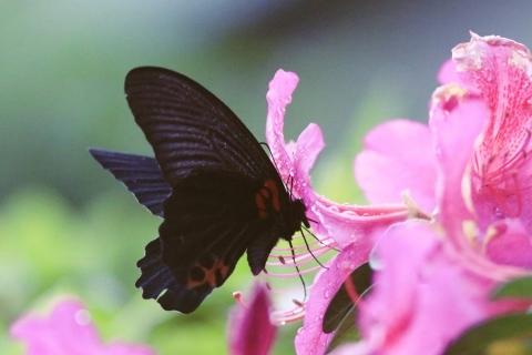 アゲハチョウ科4種の飛翔  in屋久島_d0285540_06575817.jpg
