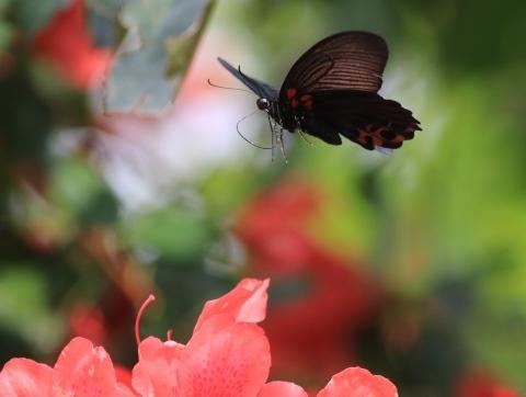 アゲハチョウ科4種の飛翔  in屋久島_d0285540_07013787.jpg