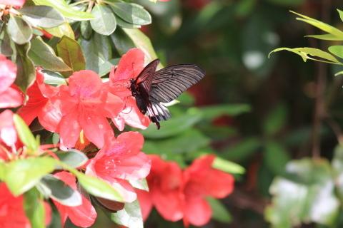アゲハチョウ科4種の飛翔  in屋久島_d0285540_07020616.jpg