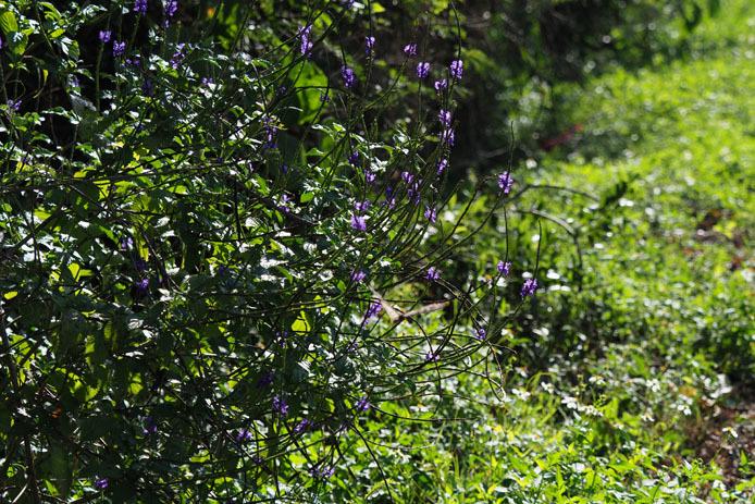 墾丁の植物 -Ⅱ_d0149245_18530913.jpg
