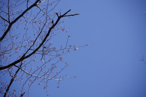 山桜の落款_c0341450_10533025.jpg