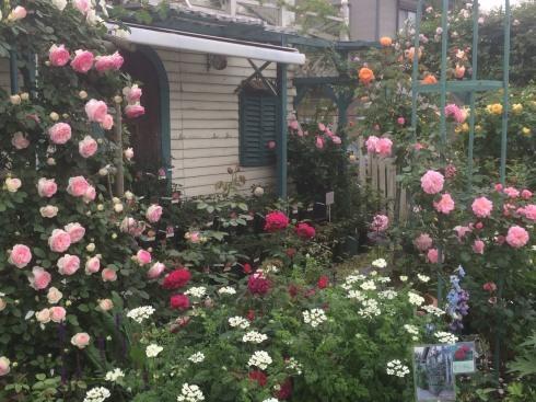 薔薇の季節ですネ---薔薇のイベント2つご案内_b0137969_06012129.jpg