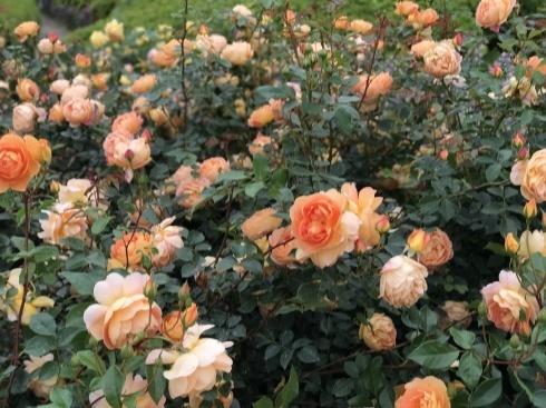 薔薇の季節ですネ---薔薇のイベント2つご案内_b0137969_06241145.jpg